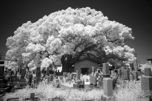 桜の木がある墓地