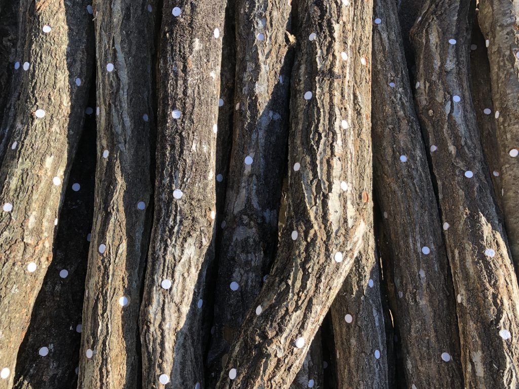 原木しいたけ植菌完了